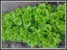 Σπόροι για Φυλλώδη Φυτά