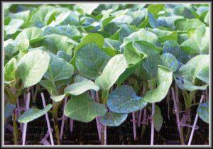 Σπόροι για Υποκείμενα Φυτά